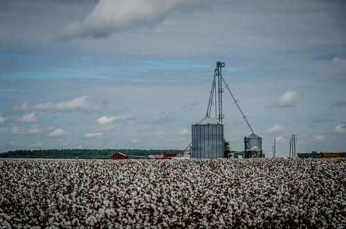Bishopville Cotton Field-001
