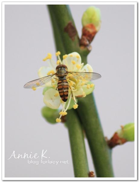 梅花瘦蜜蜂