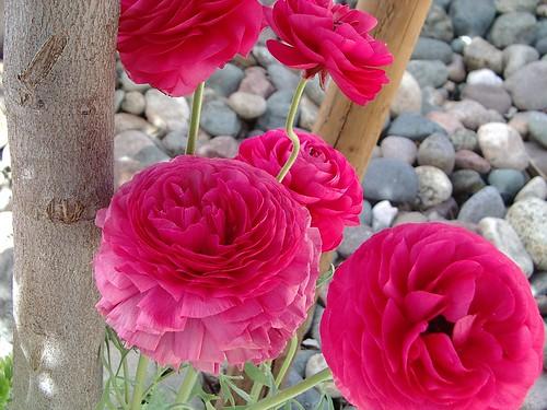 pink ranaculas