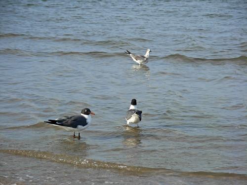 DSCN7417 Gulls
