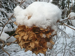 Hydrangea with snow