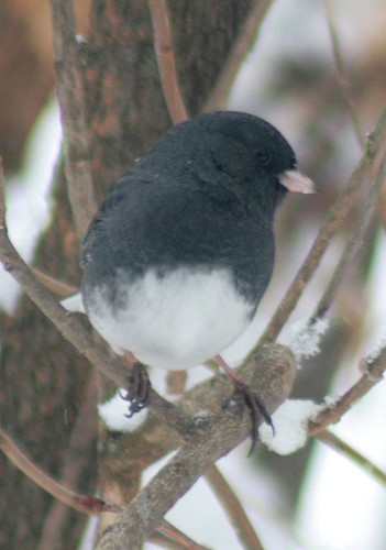 New Year's Dark-eyed Junco