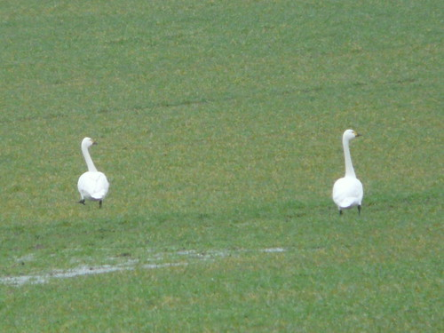 Bewick's Swans (record shot)