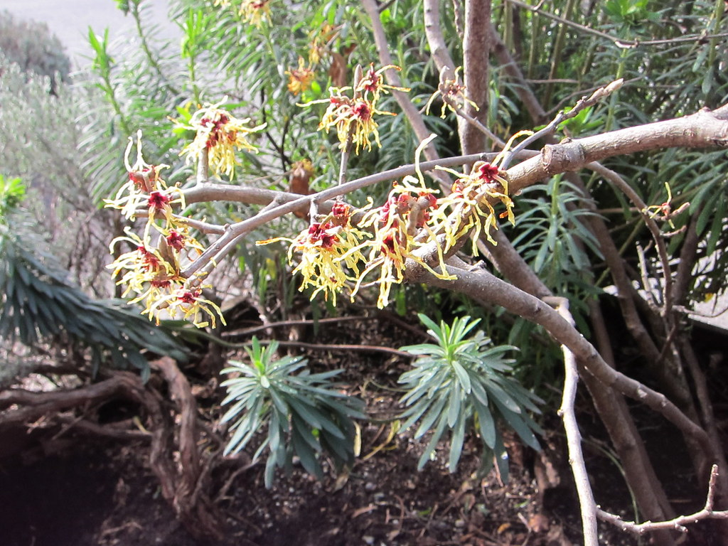 Glowing witch hazel blossoms and euphorbia