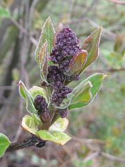 Lilac buds with new leaves