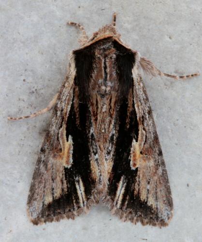 10520 - Morrisonia evicta - Bicolored Woodgrain (2)