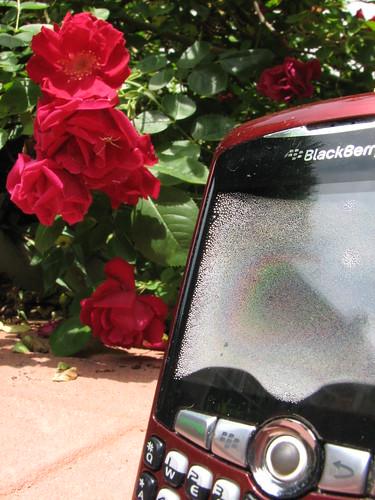 Blackberry under Roses