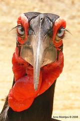 Southern Ground-hornbill (Bucorvus leadbeateri...