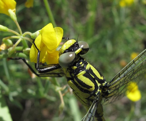 Yellow Clubtail - Gomphus simillimus