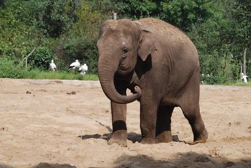 Asiatischer Elefant im Zoo de La Palmyre