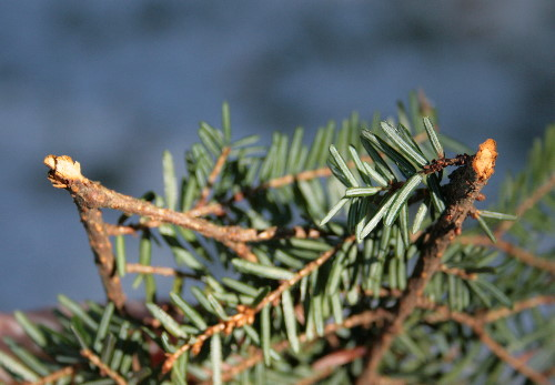 Eastern Hemlock boughs clipped by porcupine