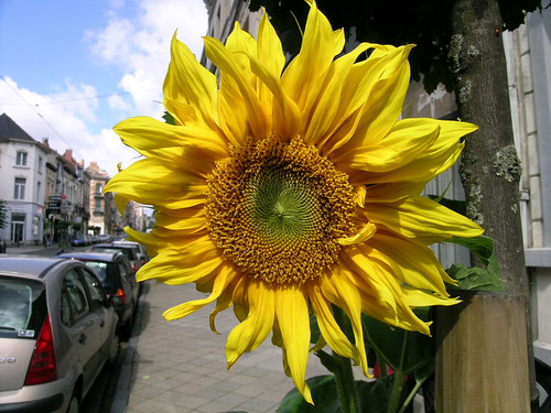 Guerrilla Sunflower