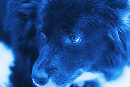 "a real ""blue dog"" wk29"