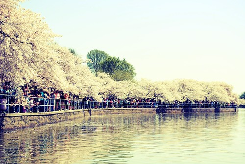 CherryBlossom005