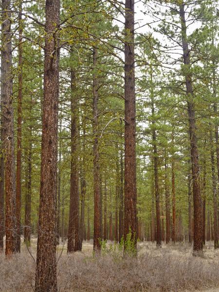 pearrygin flats ponderosa pines