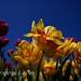 Mezcla de tulipanes