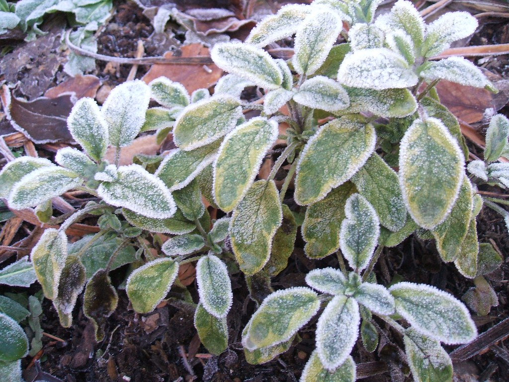 Frosted sage