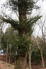 四季の森公園のもみの木(Fir tree at Shikinomori park, Japan)