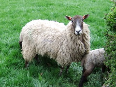 Northumberland Nature Sheep