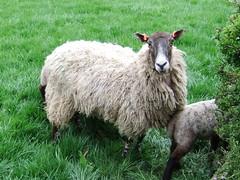 Northumberland Nature Sheep