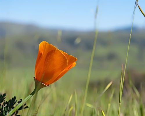 California Wild Poppy