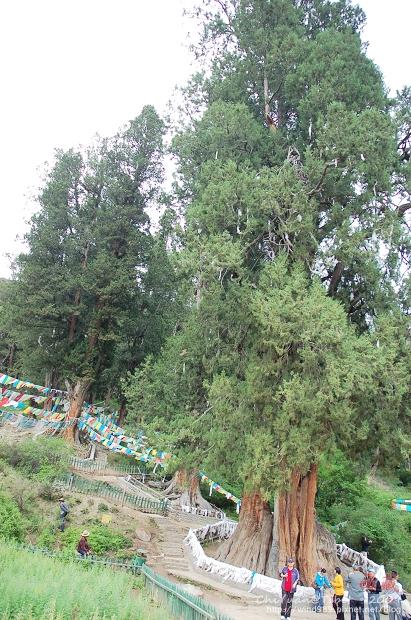西藏林芝世界柏樹王園林06.jpg