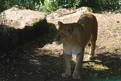 Afrikanischer Löwe im Zoo de Doué-la-Fontaine