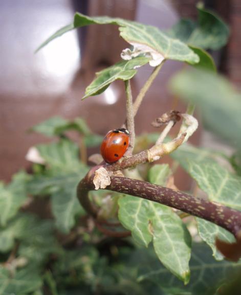 ladybird on ivy
