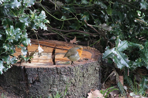 Robin pauses on tree stump