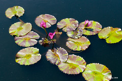 Water Lily - New Orleans