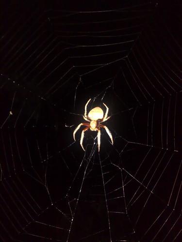 Garden orb weaving spider
