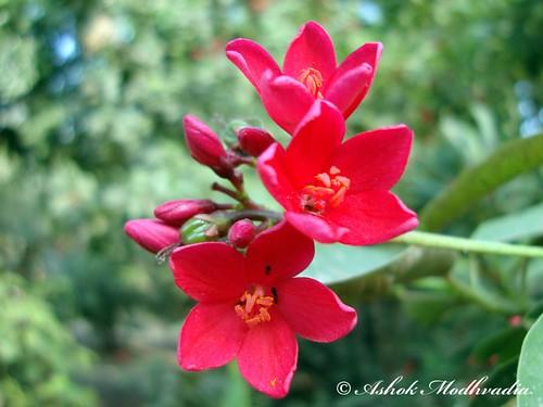 Red flower 06