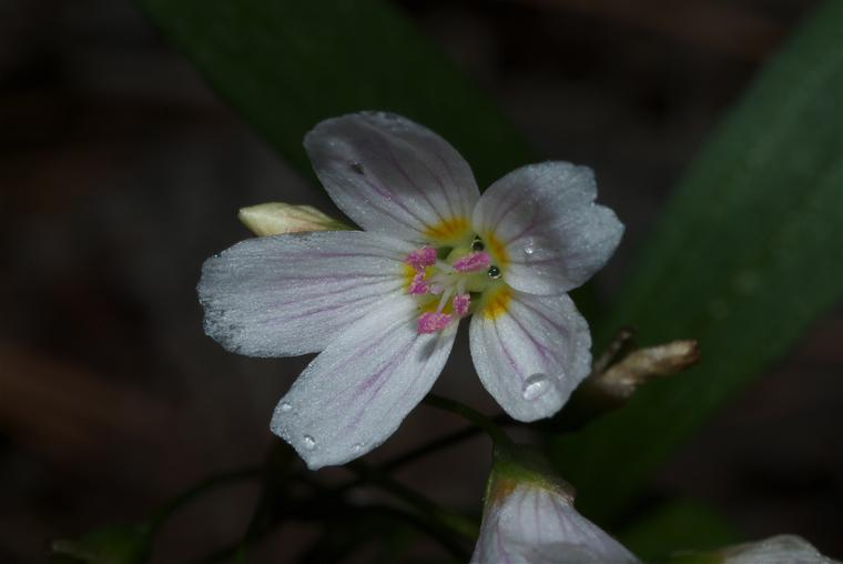 Western Spring Beauty