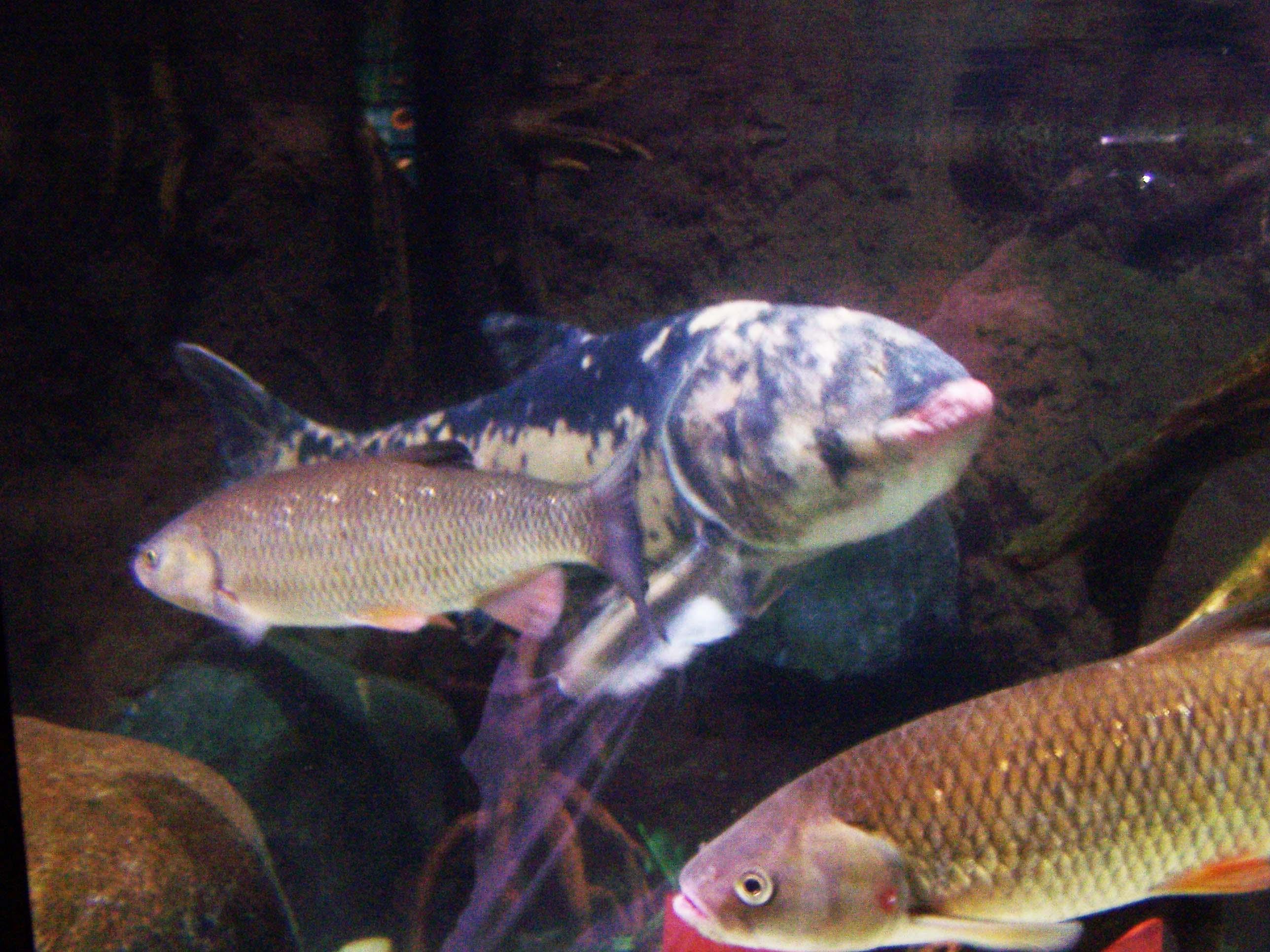 Marmorkarpfen Moby Dick, Fischschwarm