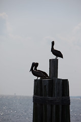 Brown Pelicans Hanging Out in Alabama