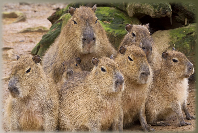 C is for Capybara