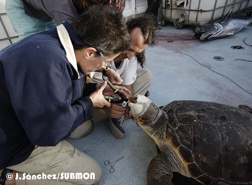 Extrayendo un anzuelo de una tortuga