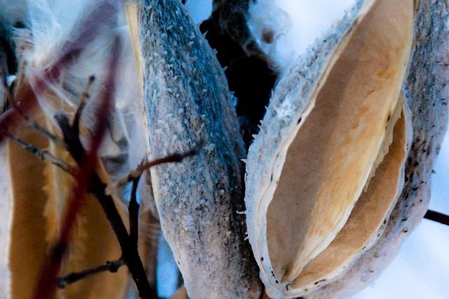 {12/365} milkweed pods (more detail)