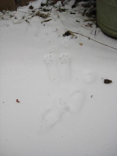 Feral cat tracks
