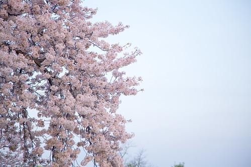 2010 DC cherry blossoms at sunrise
