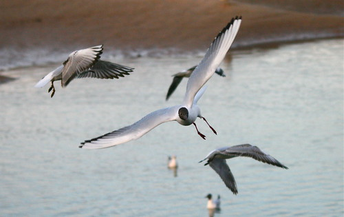image: gulls in flight