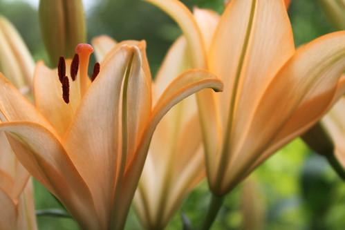 lillies (ungilded)