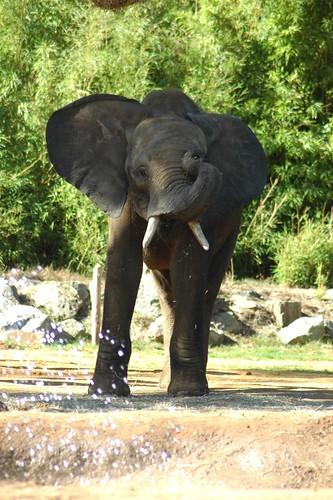 Afrikanischer Elefant im Zoo de La Flèche