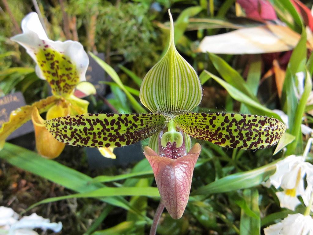 "Paphiopedilum sukhakulii ""Jeannette' orchid"