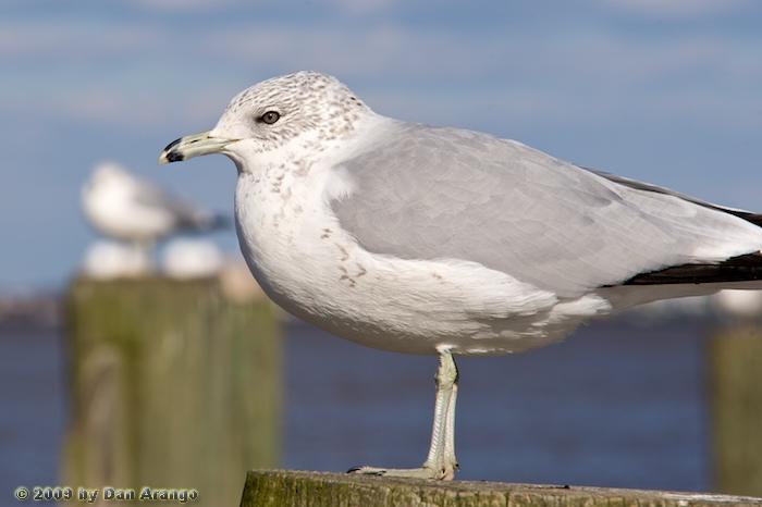 Cold Gull