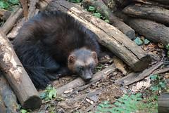Vielfraß Mette-Marit in der Réserve Zoologique de Calviac