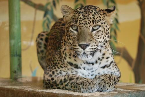 Sri-Lanka-Leopard im Zoo de La Palmyre