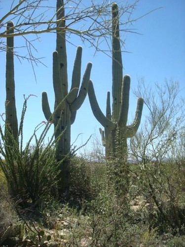 Regal Saguaro Cacti
