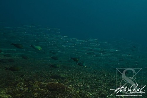 school of juvenile barracuda