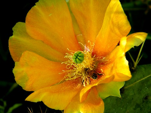 Bee in prickly pear bloom
